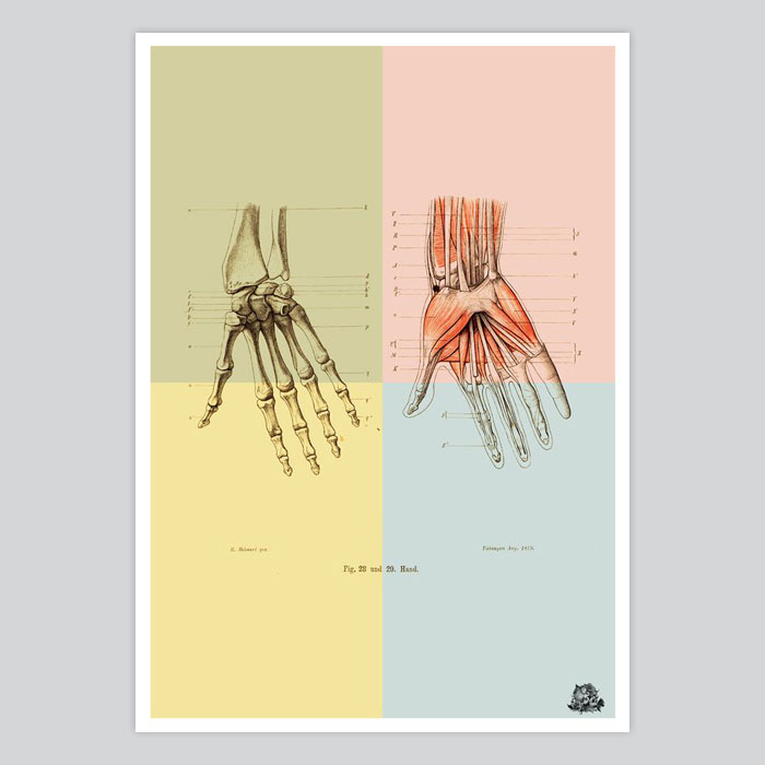 Vintage anatomy print human hand bones muscle illustration - By Artollo