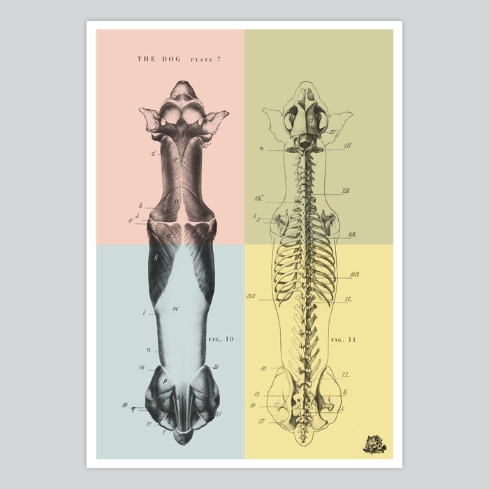 Vintage dog anatomy poster - By Artollo